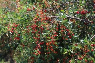 16510_cherries-small.jpg