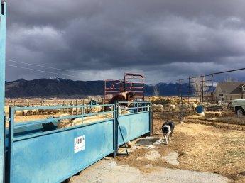 working sheep (sheep dog & chute)