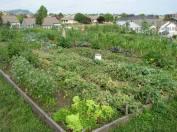 vegetables growing in garden plots