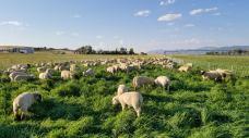 sheep in sun-lit field