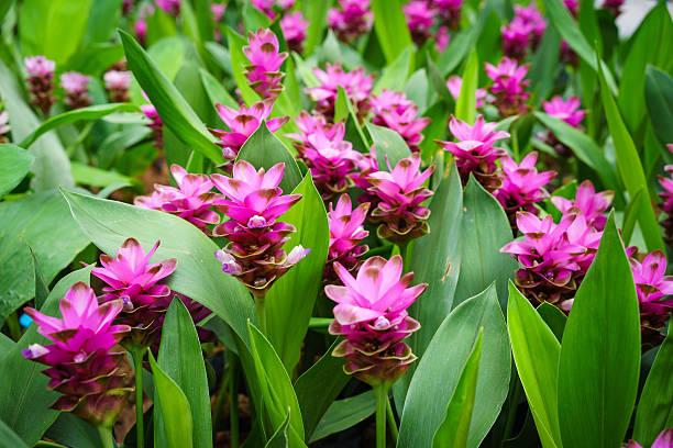 Photo of Curcuma alismatifolia blossom in Thailand.