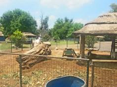 Cabras em seu reservado. Seriam comida de leão em um parque. E a gente não quer isso.