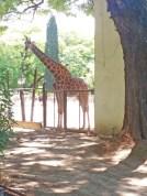 Você não vai conseguir se aproximar muito das girafas, pro mais que tente.