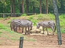 As sempre graciosas zebras.