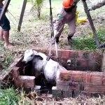 Bezerro de 200 kg cai em poço e é resgatados pelos bombeiros