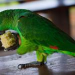 Justiça contrapõe Ibama e mantém papagaio como animal de estimação de idosa no Acre