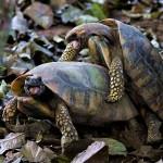 Imagem mostra jabutis acasalando no Parque Chico Mendes