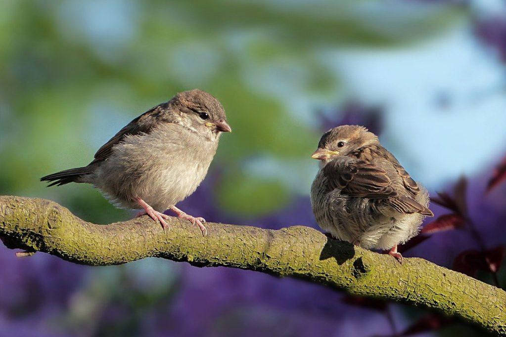 animal, bird, sparrow