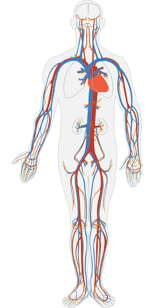 human body, circulatory system, circulation