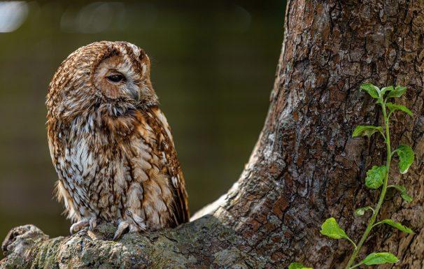tawny owl, owl, tree