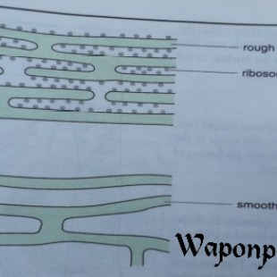 smooth and round endoplasmic reticulum