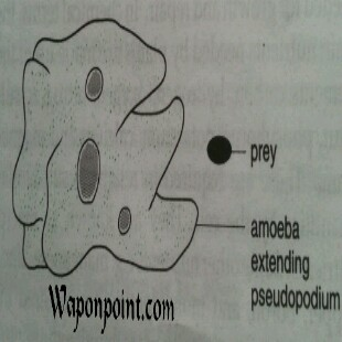 Amoeba First approach during engulfing