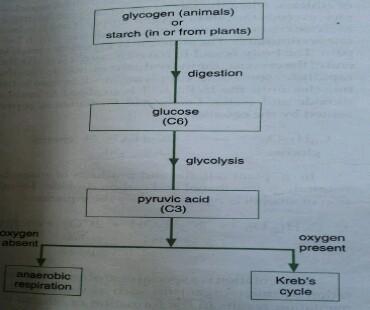 pathway of glucose breakdown in tissue respiration