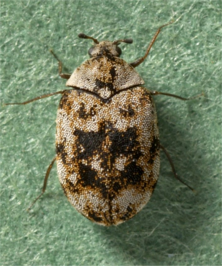 Anthrenus sarnicus adult s