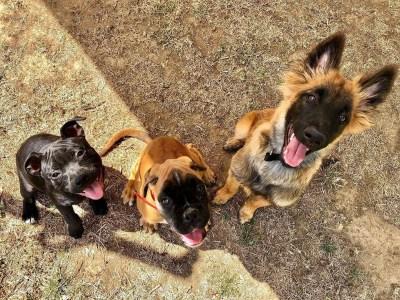 chien à l'éducation Prune, Peewee, Maya
