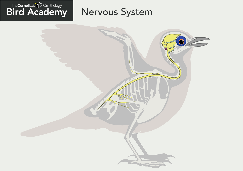 Bird Nervous System