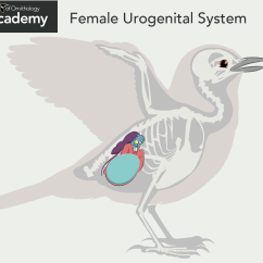Bird Of Internal Organ Diagram Dimarzio Tele Wiring Diagrams All About Anatomy Academy  The Cornell Lab