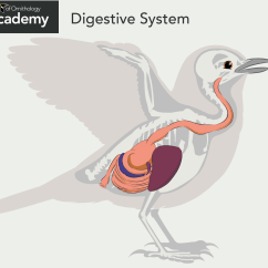 Bird Digestive System Diagram Electrical Panel Wiring Symbols All About Anatomy Academy  The Cornell Lab