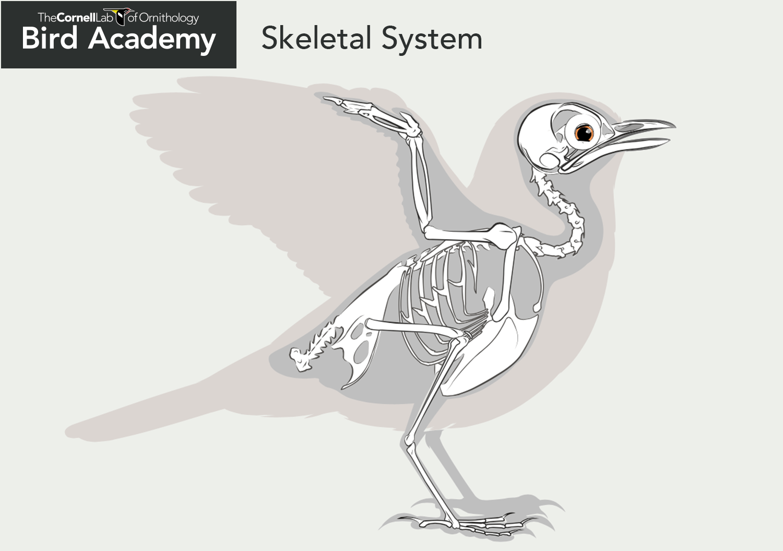 bird bone structure diagram 1990 ford f250 radio wiring all about anatomy academy  the cornell lab