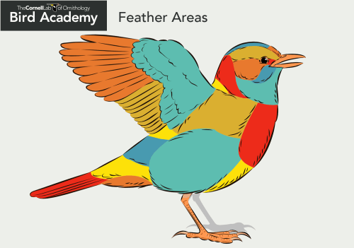 small resolution of bird anatomy feather areas
