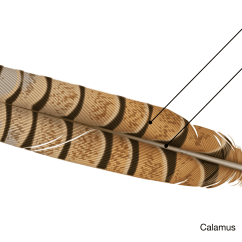 Diagram Types Of Feathers Bmw X5 E70 Radio Wiring Bird Biology Semiplume Feather Type Academy  The