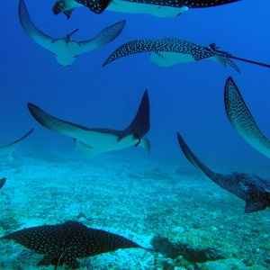 Diving galapagos with Eagle rays