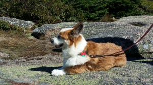 Howie, a Welsh corgi, rests during a walk with Ken Nicholls along the Cadillac Summit Loop