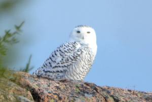 snowy owls in acadia national park