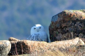 This female Snowy Owl stayed sheltered from the wind on Sargent Mountain for about an hour. (Photo courtesy of Michael Good and Down East Nature Tours and shared on eBird.org)