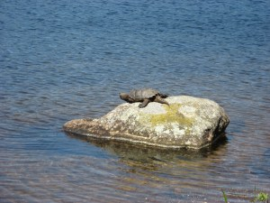 snapping turtle in acadia national park