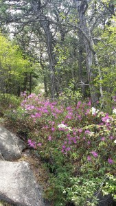 rhodora in Acadia National Park