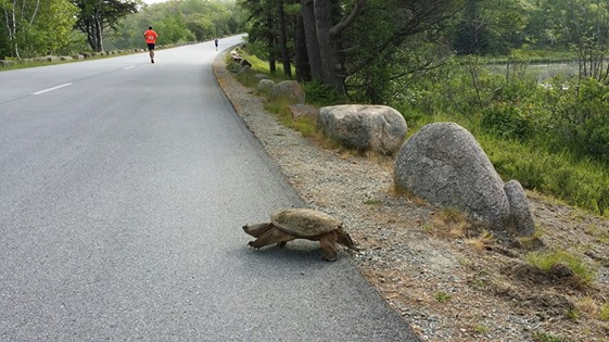 Snapping turtle along the Acadia Half Marathon route, taken by @AOMM as she logged her miles for the virtual Acadia Centennial Trek at the same time.