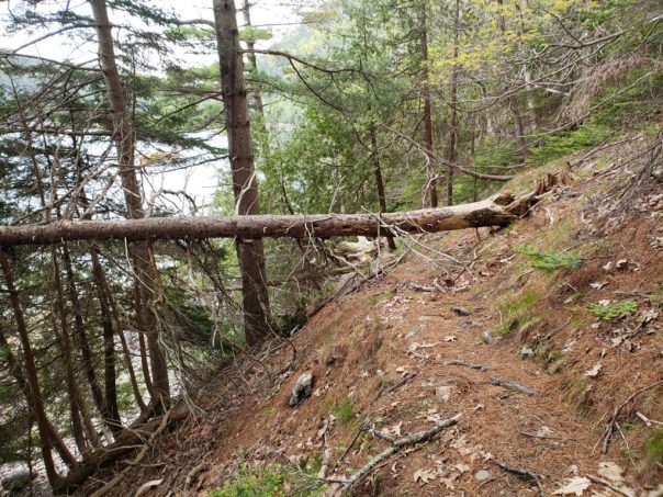 Workers will remove this toppled tree on the Valley Cove Trail in Acadia National Park.