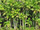 Euterpe oleracea (4″ Pot) Palm Tree Tropical Rare – Acai Super Berry