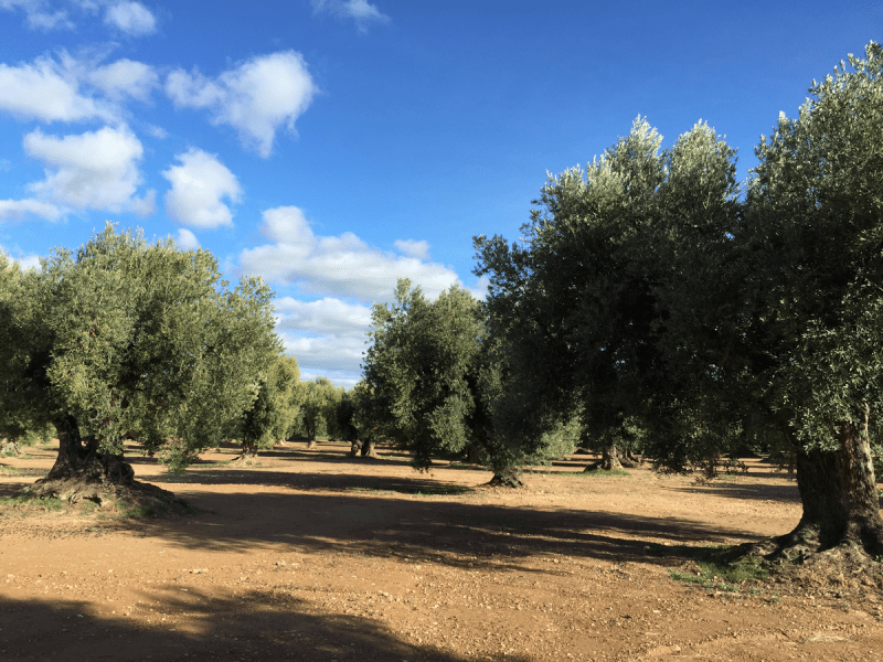 Olivos Calanda