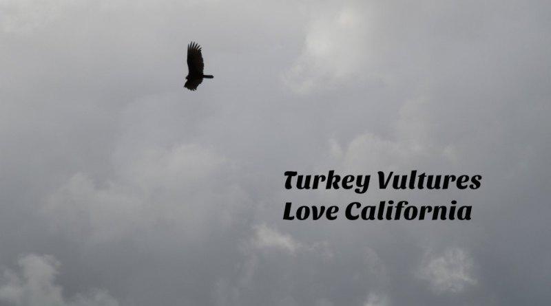 Turkey Vultures Love California