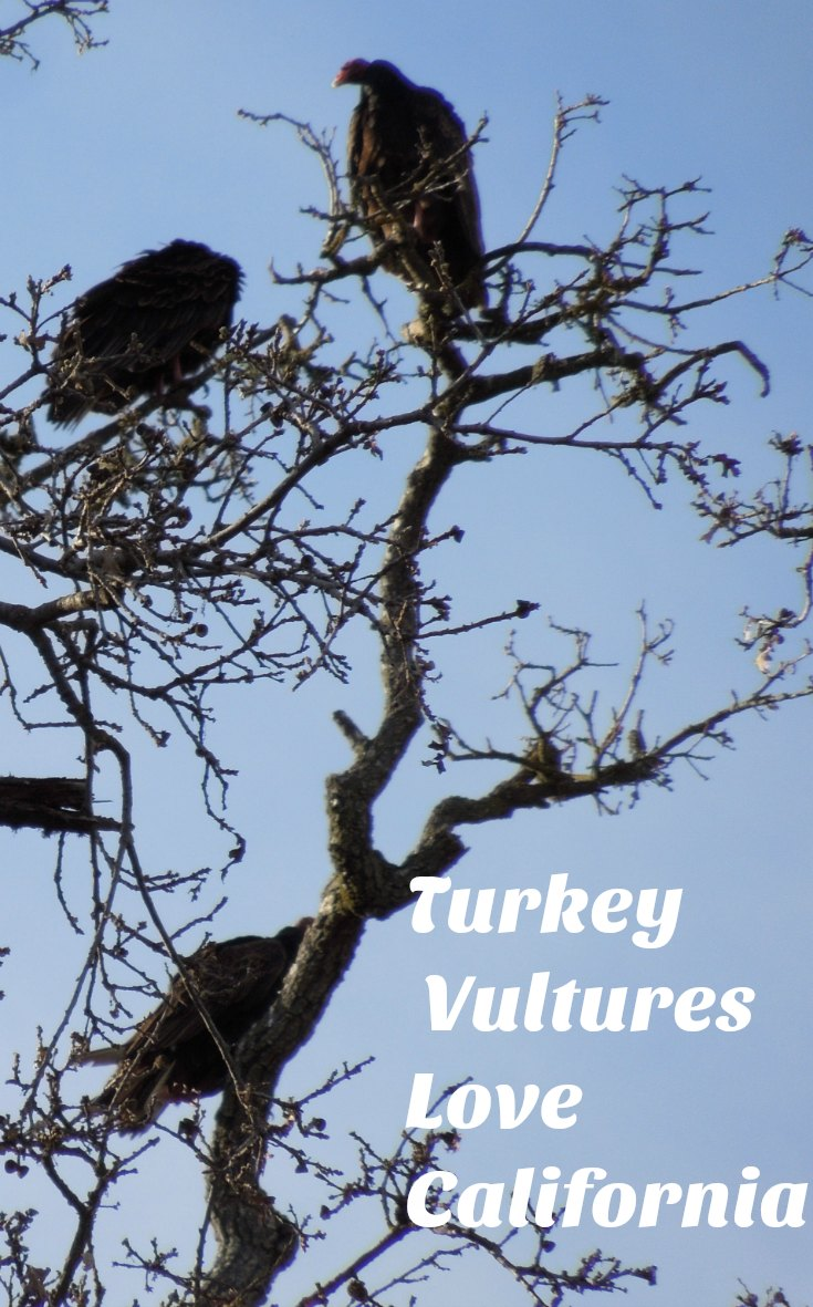 Turkey Vultures Love California: Facts and Photos