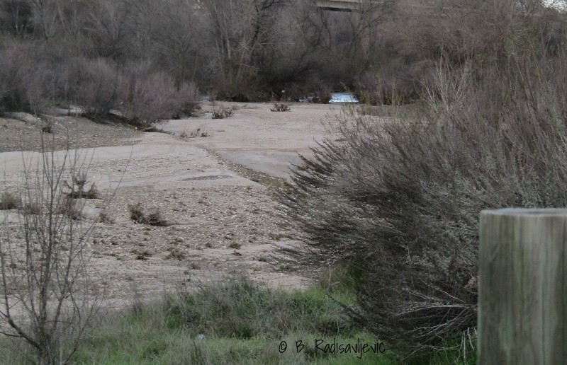 The Salinas River in Paso Robles: Now You See It
