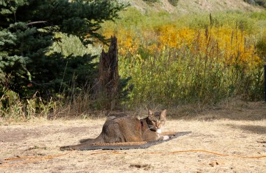 Scrappers the Camping Cat
