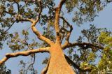 Castanha-do-pará na Alemanha para reflorestar o Brasil