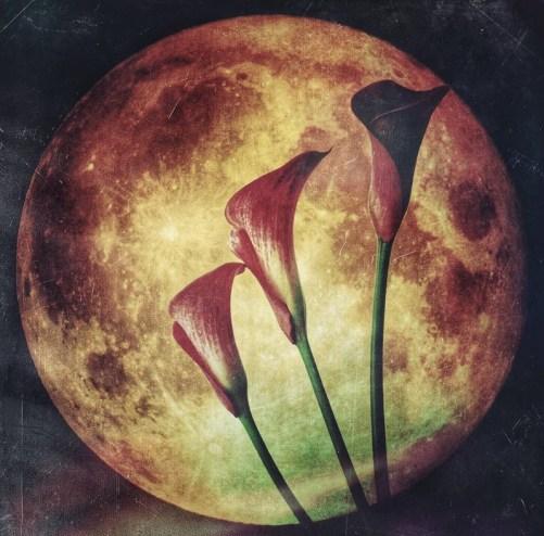 calla moon