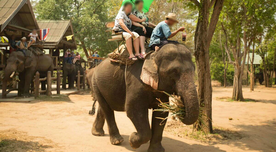 why elephant                                                     rides are cruel