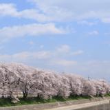 【Photo Album】近所の桜並木   Acca's Website