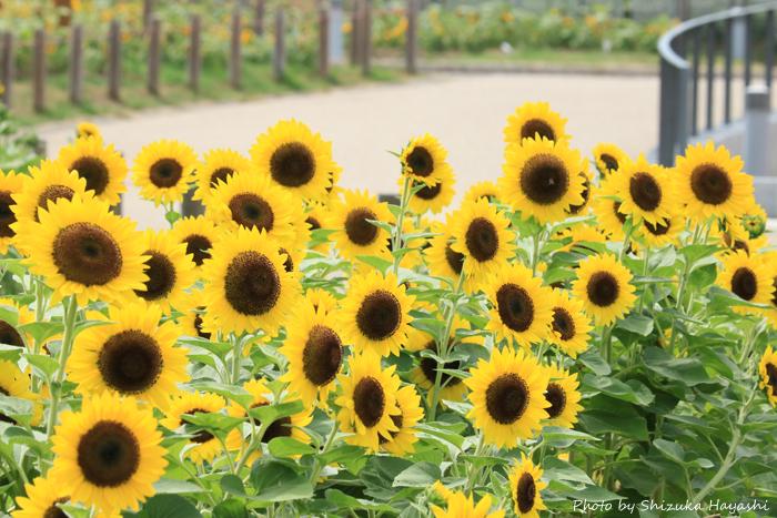 【Photo Album】ひまわり in 馬見丘陵公園@奈良 | Acca's Website
