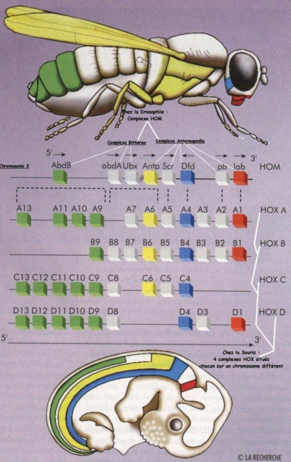 Disposition des gnes homotiques chez la drosophile et la Souris