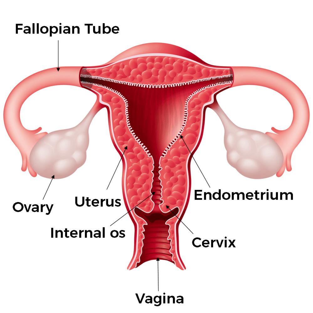 medium resolution of the female body external anatomy internal anatomy