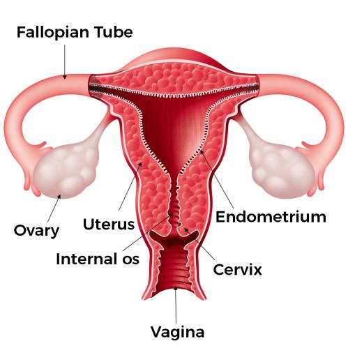 small resolution of the female body external anatomy internal anatomy