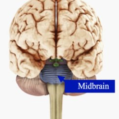 Lower Brain Diagram 1999 Honda Civic Fuse 2 02 The Image Is A Of With An Arrow Pointing To Midbrain Which Back Part Just Above And Center Hindbrain