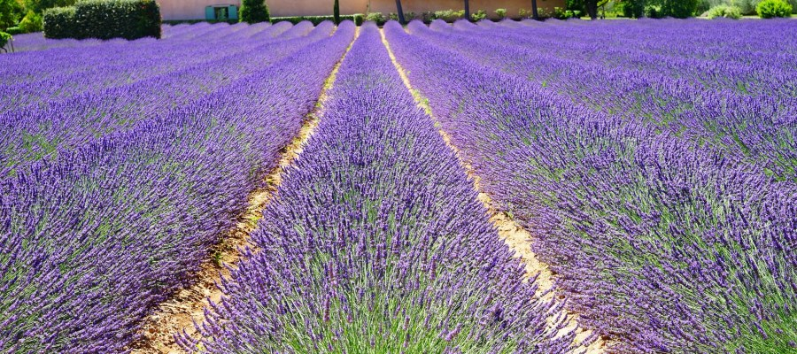 FRANCE lavender fields