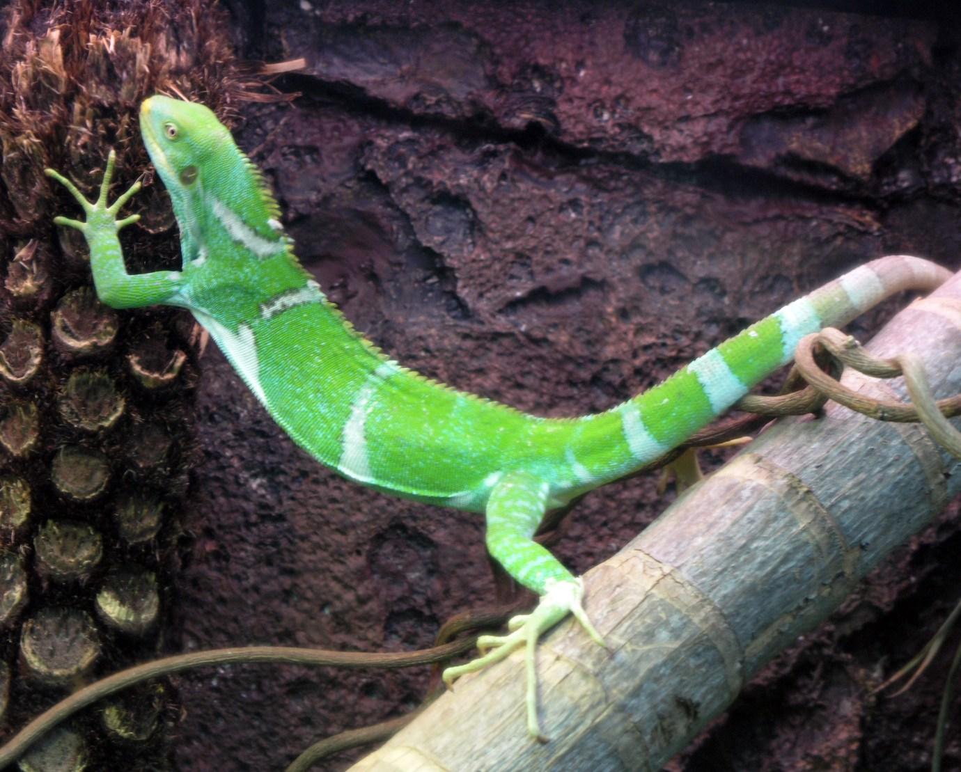 iguana perth zoo australia